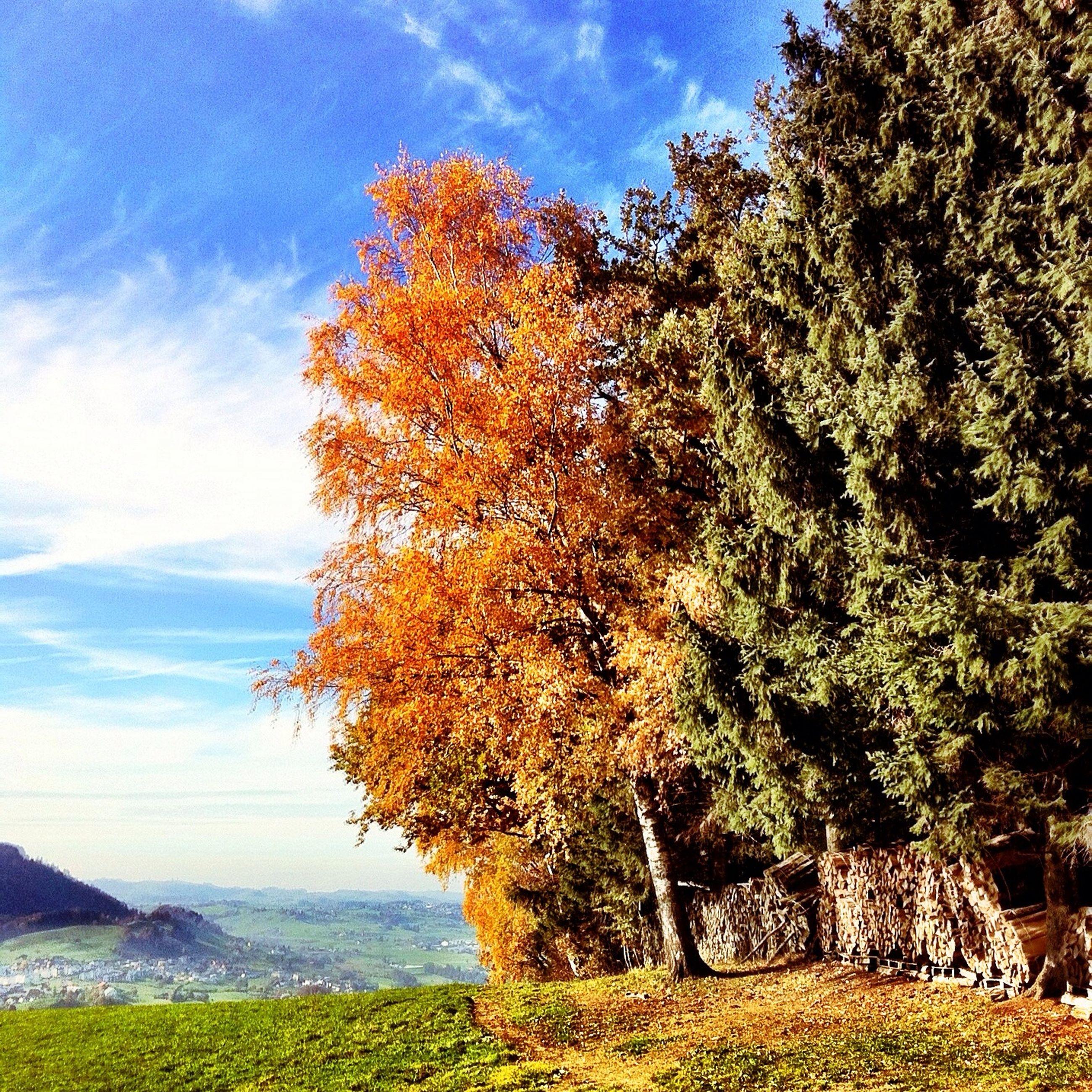 tree, tranquility, sky, tranquil scene, beauty in nature, scenics, nature, growth, landscape, autumn, field, cloud - sky, change, season, non-urban scene, grass, cloud, idyllic, day, plant