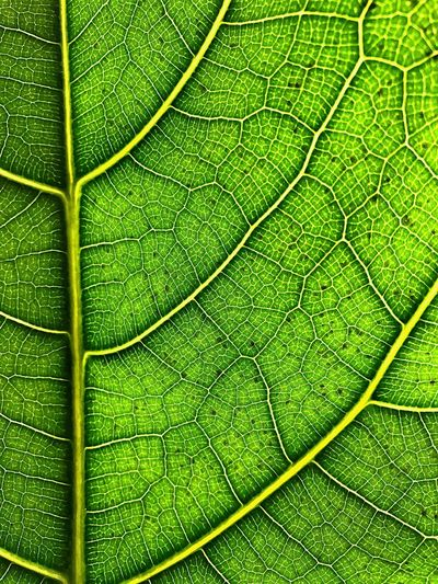Leaf Green Color Leaf Nature Pattern Backgrounds Full Frame No People Close-up Beauty In Nature Outdoors Plant Leaves Green BYOPaper!