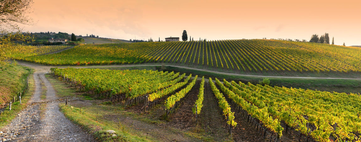 Rows of yellow vineyards at sunset in Chianti region near Florence during the colored autumn season. Tuscany in Italy Tuscany Toscana Chianti Wine Winery Vineyard Vineyard Cultivation Vineyards In Autumn Vineyard🍇 Autumn colors Autumn🍁🍁🍁 Autumn Leaves Italy Hills Chianti Area Chianti Classico Chianticlassico Rows Of Vineyards Yellow Color Sunset Landscape Countryside Farmland Rural Scene Vino