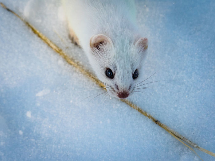 Ice Wild Animal Wilderness Area Winter Animal Themes Canada Close-up Cold Temperature Day Ermine Looking At Camera Mammal No People One Animal Outdoors Portrait Snow Straw Whisker Wild Animal Photography Wild Animals Up Close Wilderness Wilderness Adventure Yukon Territory