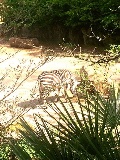 Animals In The Wild Zebra