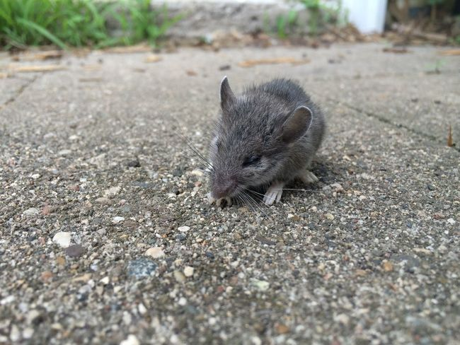 Mouse Vermin Rodent Animal Sleepy Closed Eyes Outdoors Extermination Pest