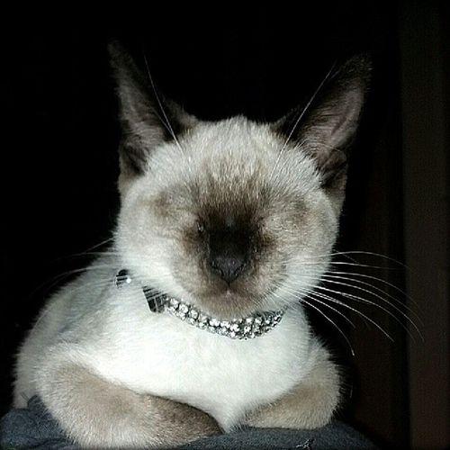 Yuki Smiling as he Sleeps on my Love @dlzrd. Cat kitten meow cute adorable hashtagaddiction pictureoftheday picoftheday photooftheday pixlromatic portorchardwashington droidrazr