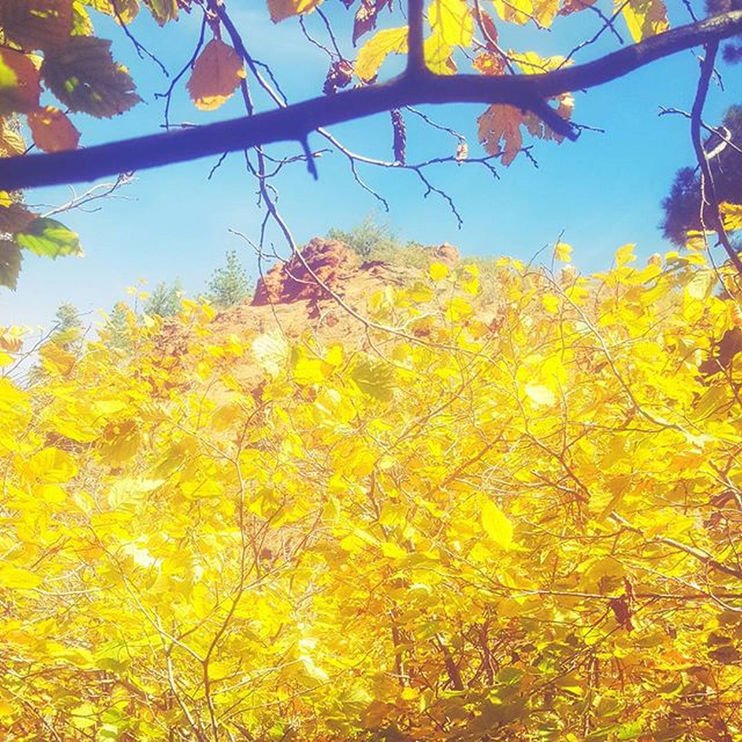 tree, yellow, branch, low angle view, autumn, growth, change, beauty in nature, nature, season, clear sky, tranquility, sunlight, sky, leaf, orange color, outdoors, scenics, no people, day
