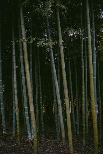 Bamboo plants growing on field