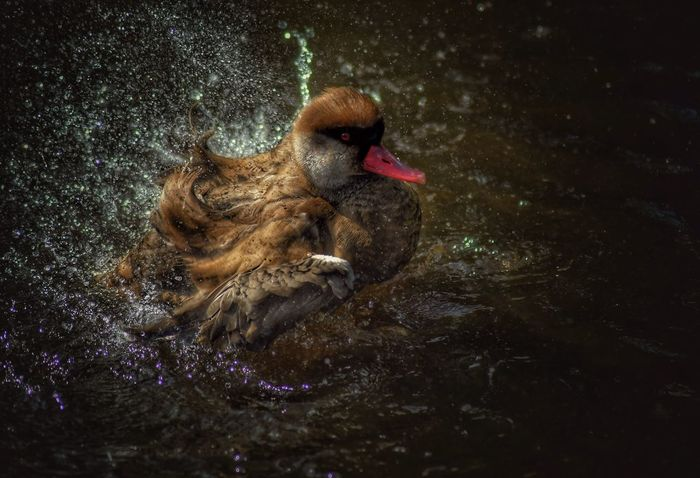 Martin Mere wetlands centre, near Southport. The ducks are having a splashing time. Water Photography Is My Escape From Reality! Malephotographerofthemonth Atmospheric Mood Lake Bath Time Ducks Nikon Martin Mere Martin Mere