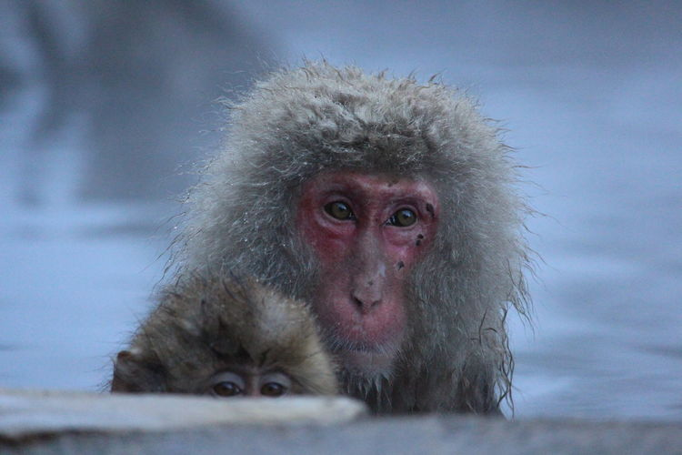 Portrait Of Monkey On Snow