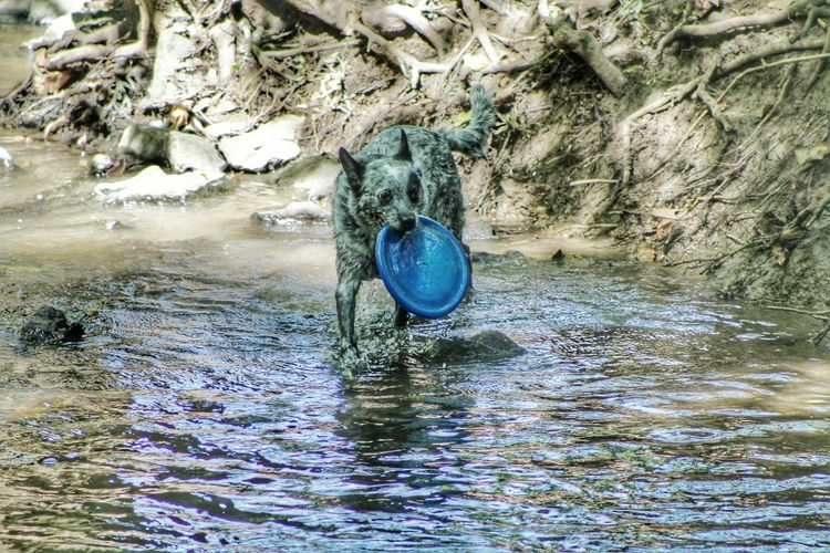 Australian cattle dog carrying plastic disc in mouth at lake