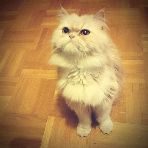 My Litle Baby Cat Shira Love