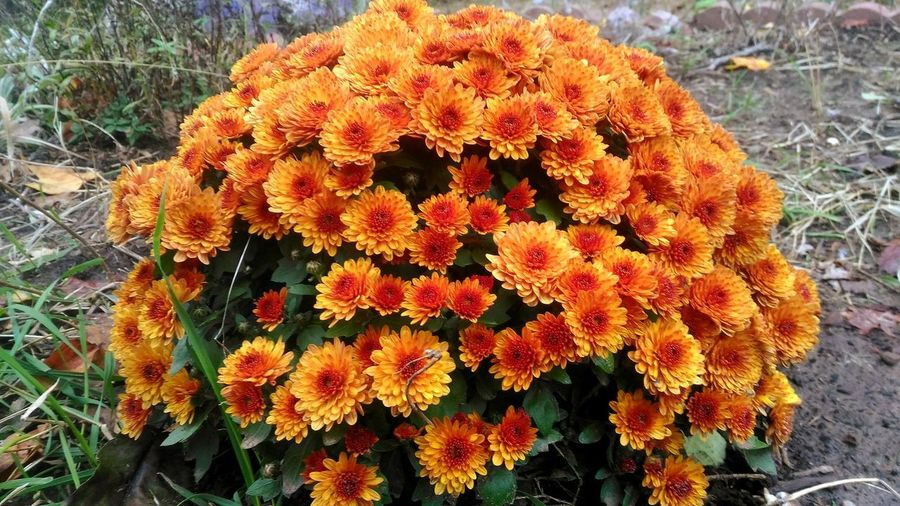 orange mums Mums Mum Orange Color Orange Flowers Flowering Plant Autumn Flowers Autumn Garden Photography Garden Flowers Fall Fall Beauty Fall Colors Fall Flowers Autumn Flowers Autumn colors Garden Mums Flowers Flower Flower Head Close-up Plant Life In Bloom Blossom Blooming Botany Growing Softness