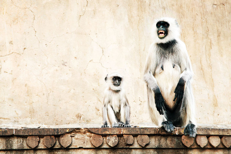 Langur sitting with baby on retaining wall of hanuman temple
