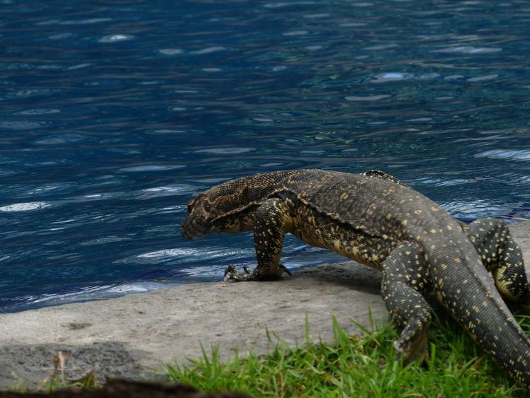 Swiming Pool Travel Destinations Tourism Dragon Dragons Varan Grass Area Reptile One Animal Animal Wildlife Outdoors Day Nature Animal Themes No People