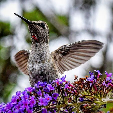 Female Anna Hummingbird Nature's Diversities Wildlife & Nature Wildlife Photography Hummingbird Bird Photography Birds Naturelovers