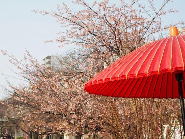 Red Tree No People Outdoors Sakura Umbrella Flower Park Spring Spring Flowers Pink Pinkflower Millennial Pink