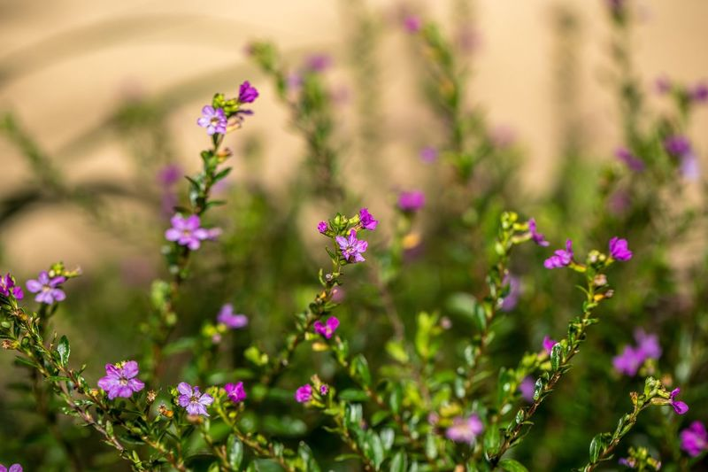 Tiny purple flower pattern Flowers Pink Color Nature Focus On Foreground Plant Day Outdoors Fragility Beauty In Nature Freshness Close-up Flower Head Growth First Eyeem Photo