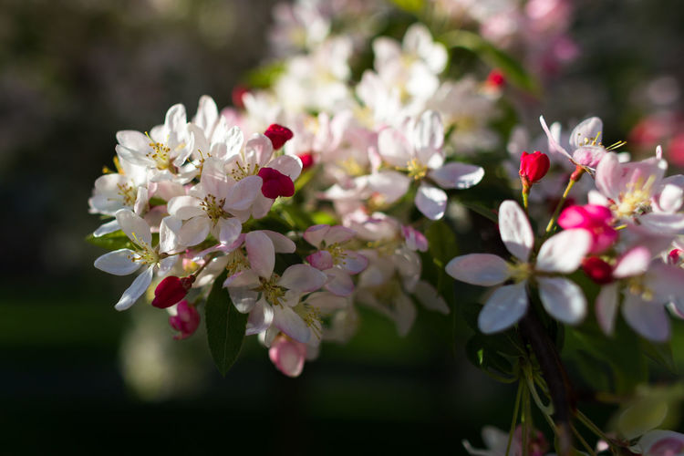 Beauty In Nature Blossom Bunch Of Flowers Cherry Blossom Cherry Tree Close-up Flower Flower Head Flowering Plant Fragility Freshness Growth Nature Outdoors Petal Pink Color Plant Pollen Selective Focus Springtime
