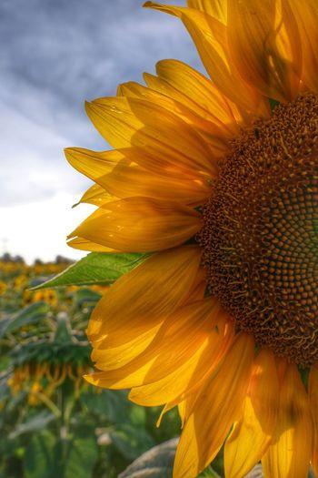 Sonnenblume im