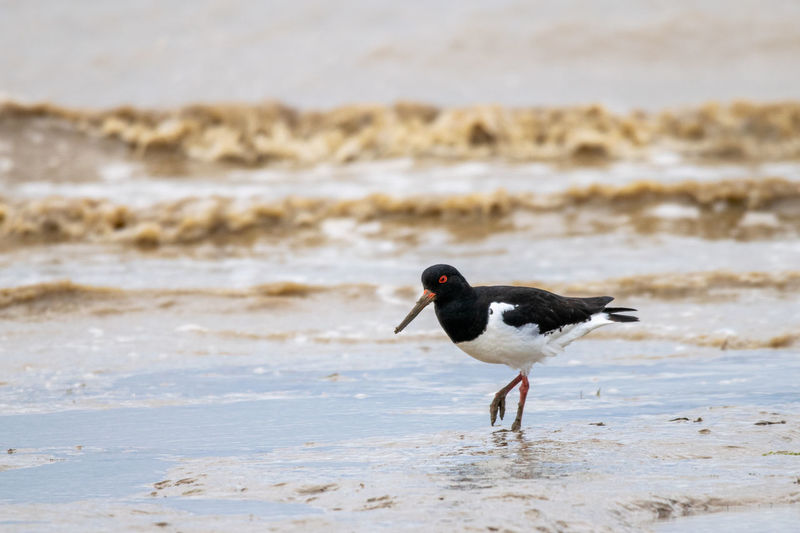 Oyster catcher searching for food along the mud flat coastline of bradwell on sea, essex, uk