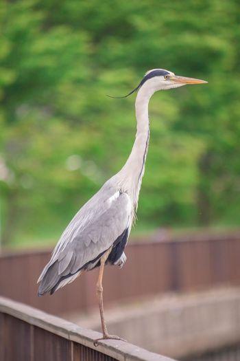 Heron OSAKA Japan Japan Photography Bird Stork Close-up Heron