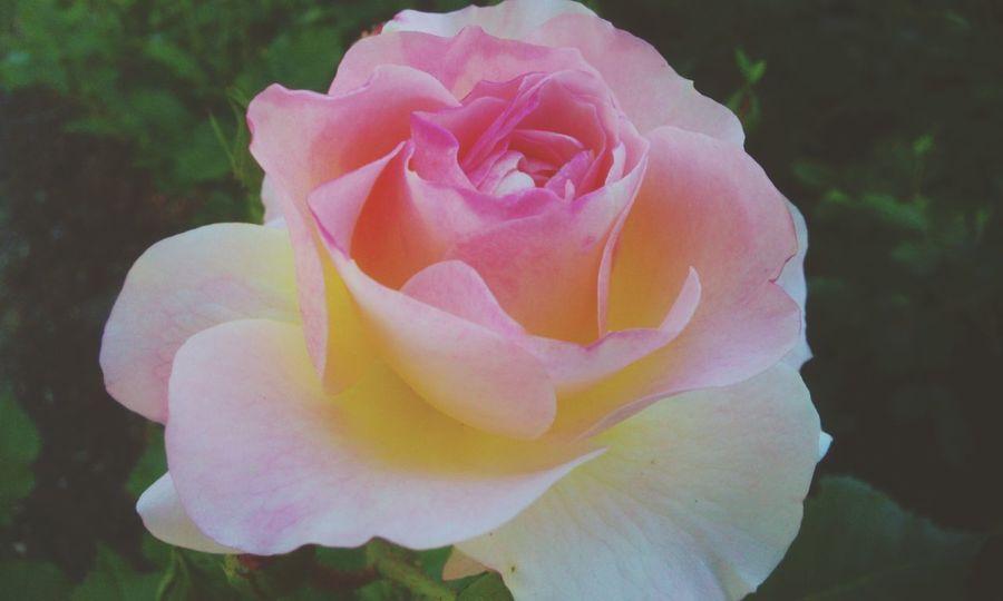 Rose🌹 Rose - Flower Garden Photography In Garden Beautiful Flowers,Plants & Garden Pink Flower Softness Fragile Beauty Fragility Taking Photos Relaxing Near The Nature
