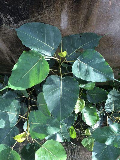 Bodhi Tree /