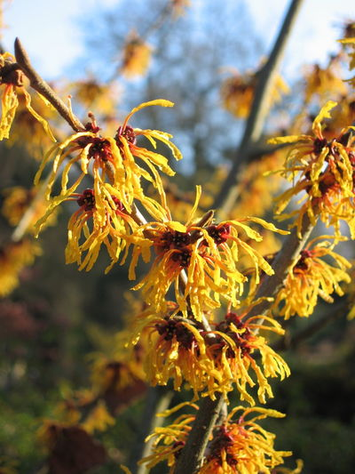 A fresh, frosty morning Autumn Colors Beauty In Nature Branch Close-up Day English Garden Fresh Garden Garden Flowers Garden Photography Growing Nature Nature Photography Orange Outdoors Tree Vibrant Color Winter Winter Trees Witch Hazel Witch Hazel Plant