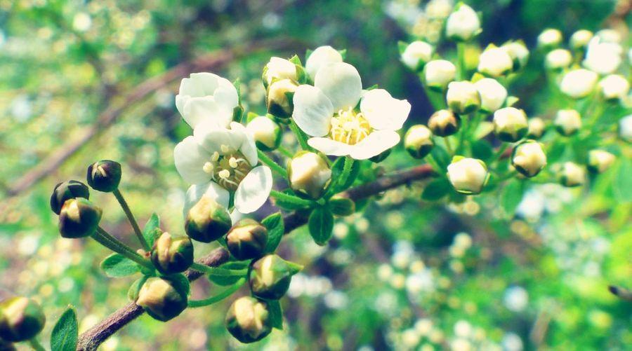 Blumen Weiss Sommer Mirabellenblüte🌾 White Flowers Blumenranke Garten Pflanze  Baum