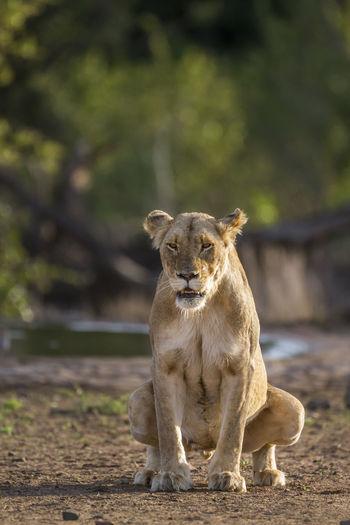 Lionesses defecating on land