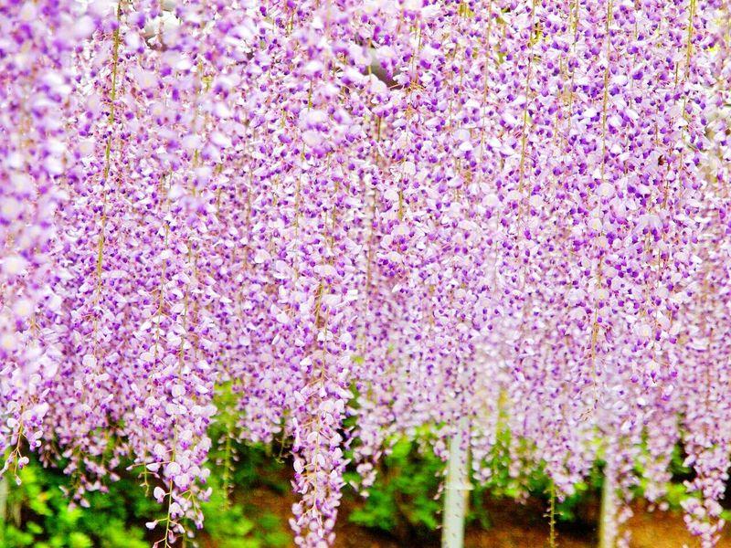 Boke Flower Morning Huji Flowers EyeEm Nature Lover Spring Flowers Japan Natural Photo Spring Purple Purple Flowers