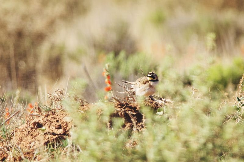 horned lark Desert Bird Photography Horned Lark Bird Bird Photography Arizona Bird Arid Climate Camouflage Animal Themes Grass
