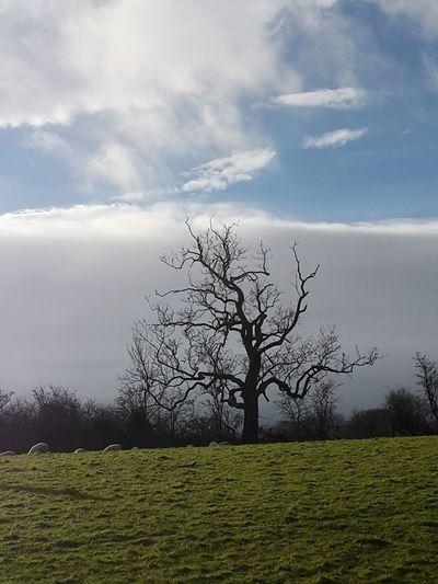 No Edit No Filter Lone Tree Wintry Tree Sheep Beautiful Nature Knaresborough Gorgeous
