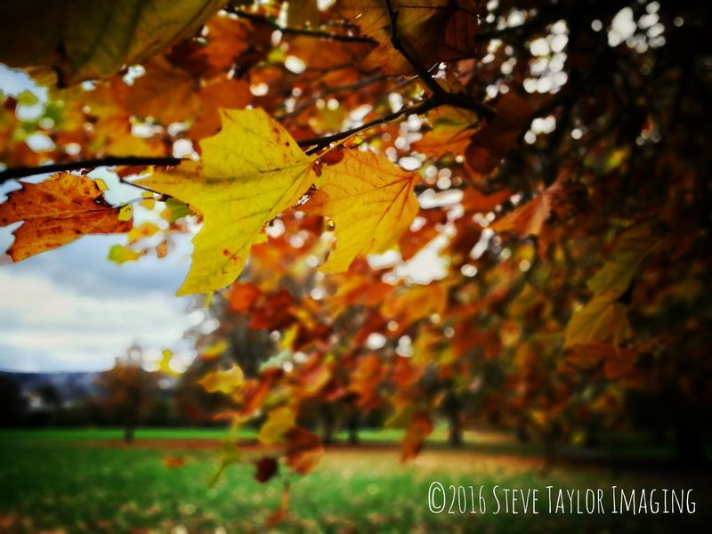 Autumn Change Leaf Nature Tree Beauty In Nature Captured On P9 HuaweiP9 HuaweiP9plus Oo