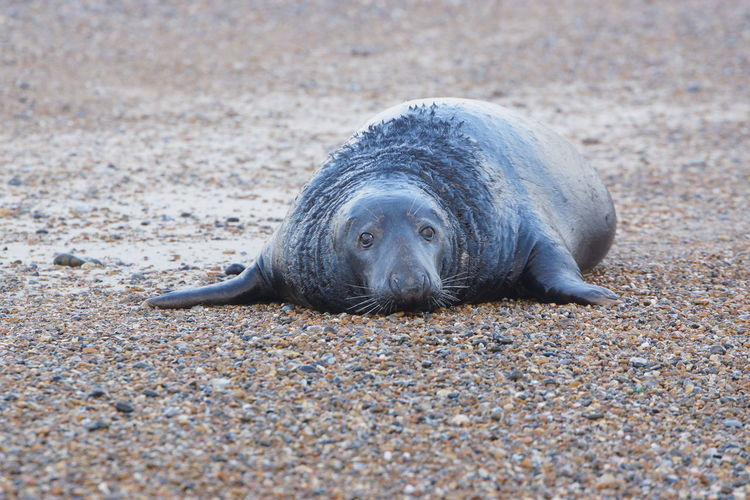 One Animal Land Animal Animal Themes Animal Wildlife Seal - Animal Nature Seal Animals In The Wild Relaxation Beach Resting Mammal Sashalmi Wildlife & Nature Wildlife Sealife Sand Wildlife Photography