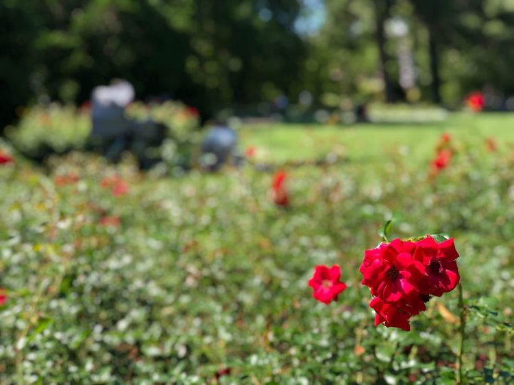 Flower Flowering Plant Plant Red Beauty In Nature Growth Freshness Park Land Day Nature Focus On Foreground
