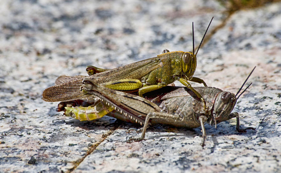 Cavallette Close-up Focus On Foreground Grasshopper Insect Invertebrate Nature One Animal Outdoors