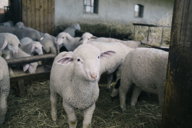 Lambkin, Oderbruch (Brandenburg, Germany) Animal Animal Themes Domestic Animals Farm Farm Life Focus On Foreground Livestock Mammal No People Sheep Young Animal