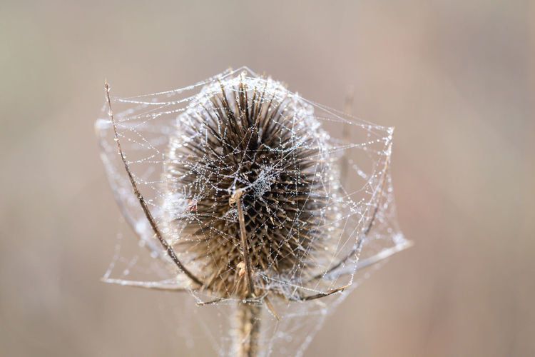 Plant BURR Burdock Thistle Cobweb Winter Sunshine Dew Water Wet Prickly Seasonal Nature Outdoors No People Day Close-up Wilted Plant