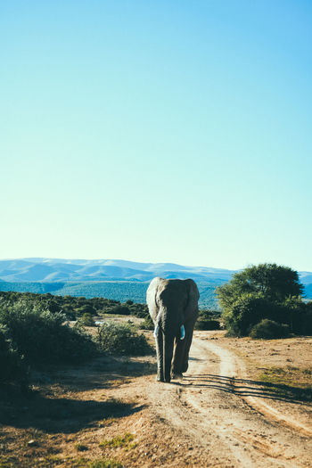 Elephant Walking On Dirt Road Against Clear Blue Sky
