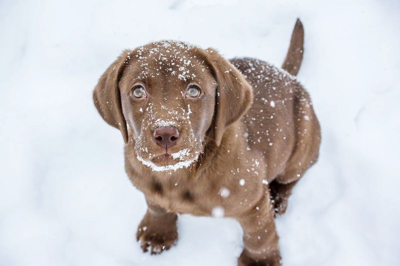 Portrait of chocolate labrador puppy on snow covered field
