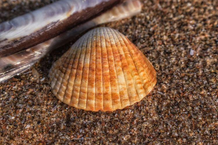 cockle sea life Cockle Malephotographerofthemonth Nature Photography Nature Wildlife & Nature Macro Photography Wildlife Photography Closeup Seascape Wells-next-the-Sea Beachphotography Norfolk Beach Close-up Seashell Shell