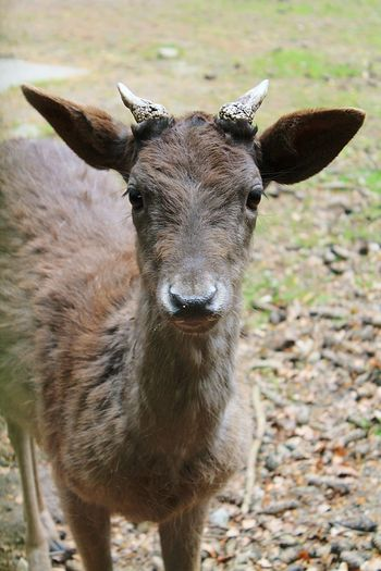 Pets Corner Animal Portrait Deer Animal Photography Wildlife Photography Eyeing You Just Passing By... Cute Animals Beautiful Nature Nature Photography