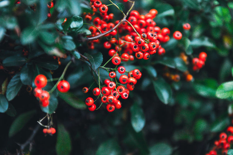 Autumn mountain ash berries with green leaves are singing on a bush. a bunch of orange red berries
