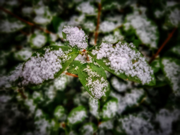 February winter snow in my garden Snow Covered Leaves Winter_collection Close-up Nature Day No People Focus On Foreground Cold Temperature Leaf Snow Plant Fragility Green Color Beauty In Nature Winter Outdoors