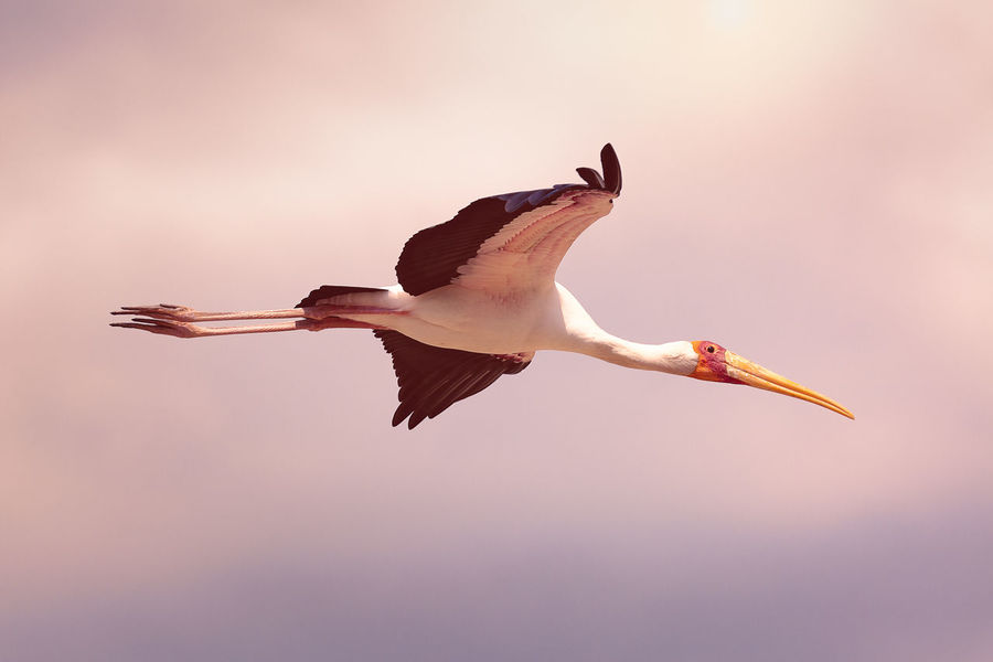 Yellow-Billed Stork Flying High Sunset_collection Animal Animal Themes Animal Wildlife Animals In The Wild Beak Beauty In Nature Bird Day Flying Full Length Low Angle View Mid-air Motion Nature No People One Animal Outdoors Seagull Sky Spread Wings Sunset Vertebrate Wings