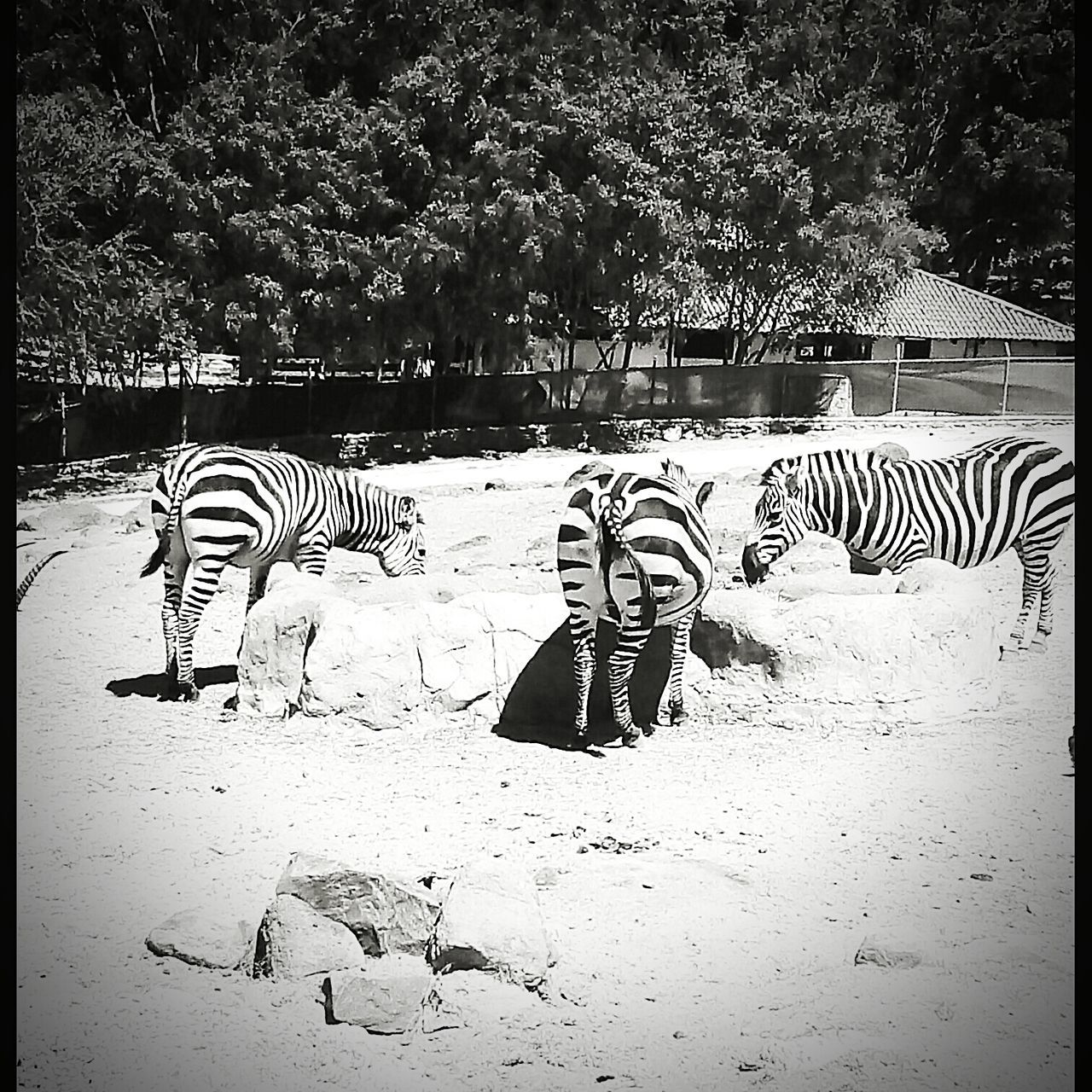 zebra, striped, animal themes, mammal, animals in the wild, tiger, day, outdoors, nature, no people, tree, safari animals