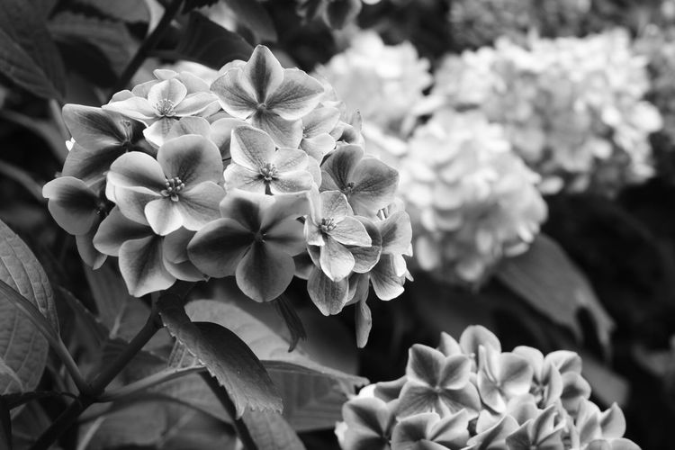 Beauty In Nature Blooming Day EyeEm Best Shots EyeEm Nature Lover Eyeemmonochrome Flower Hydrangea Monochrome Nature