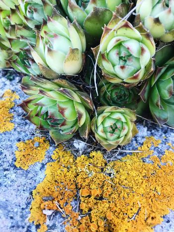 Deer Isle, Maine Deer Isle Green Color Plant Growth Freshness High Angle View No People Day Full Frame Close-up Flower Succulent Plant Leaf