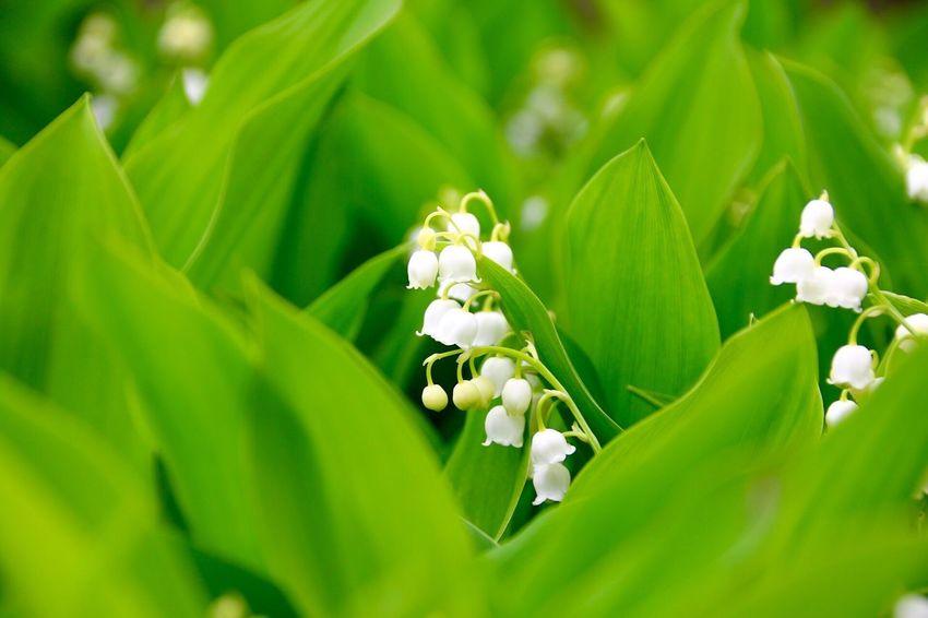 鈴蘭、再び。 鈴蘭 君影草 谷間の姫百合 Lily Of The Valley Canon EOS 70d Sigma 18_300mm Photo
