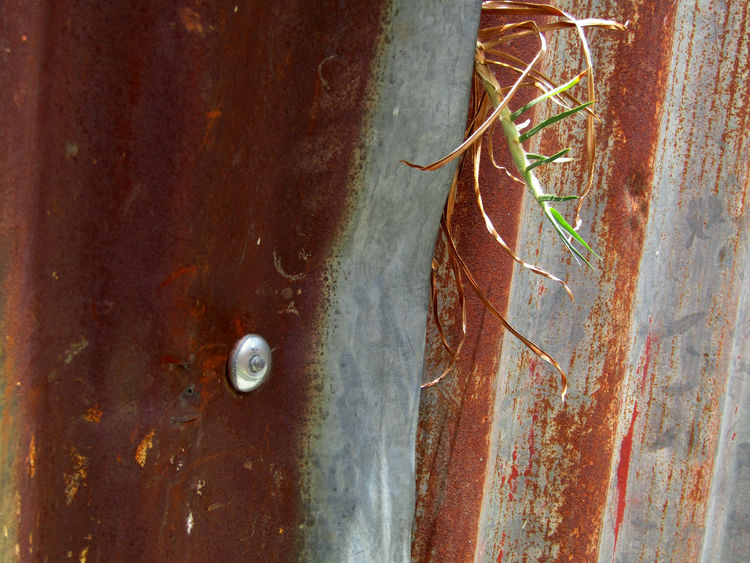 Peaking through / barely surviving. La Paz, Bolivia. Green Plant Rust Close-up Conquer Corrugated Metal Day Nature Nature Versus Man No People Outdoors Peaking Through Rusty Sheet Metal Surviving Textured  Weathered