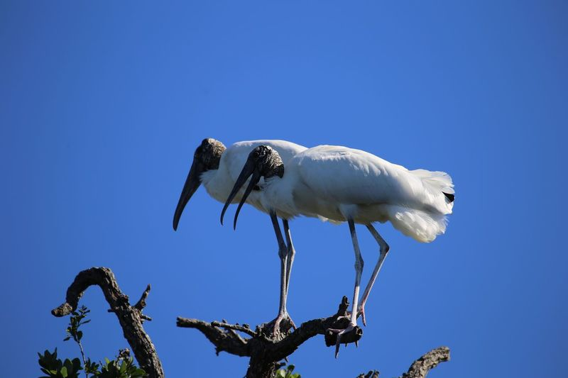 Low angle view of ibis birds perching on treetop against clear blue sky